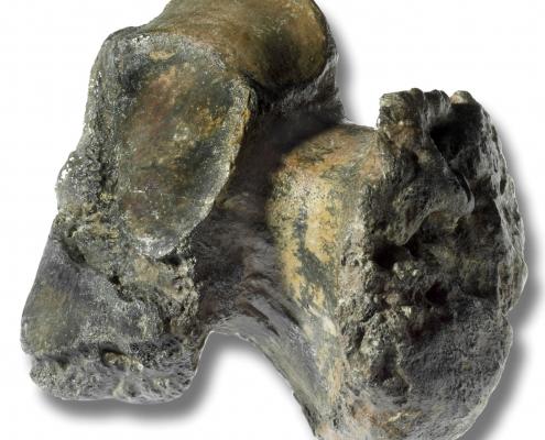 Pathologisches Fersenbein - 40 Jahre Urelefant von Mühldorf