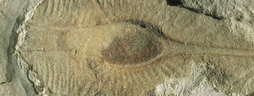 Fossile Eikapsel eines Haies