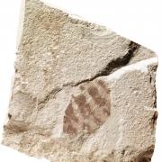 Isolierter Flügel eines Insekts (Netzflügler), ca. 190 Mio. Jahre, Oberpfalz, Slg. Hartwig