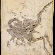 Raubdinosaurier Compsognathus longipes, ca. 150 Mio. Jahre, Niederbayern