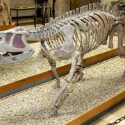 Raubsaurier Prestosuchus quiniquensis v. Huene, ca. 220 Mio. Jahre, Brasilien
