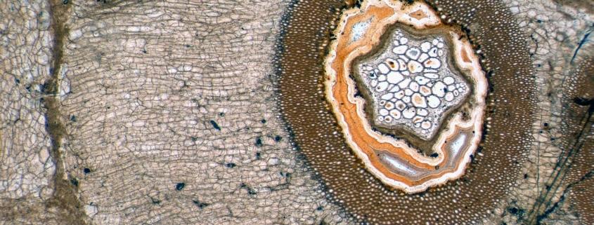 Wurzel aus dem Wurzelmantel eines Psaronius-Baumfarns aus dem Versteinerten Wald von Chemnitz