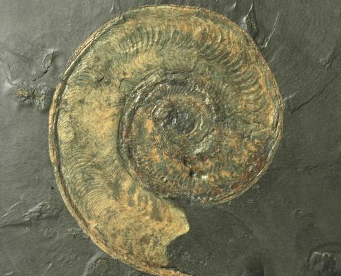 Ammonit aus dem Unteren Jura