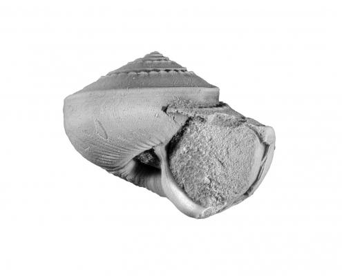 Schlitzbandschnecke aus der oberen Trias