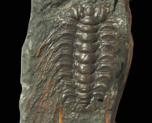 Fossil des Monats Oktober 2019: Humboldts böhmischer Trilobit