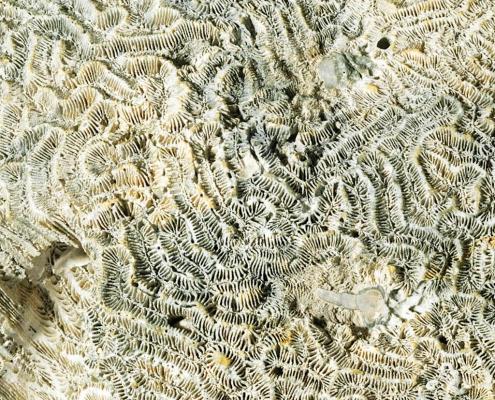 Fossil des Monats Dezember 2019: Meandrina