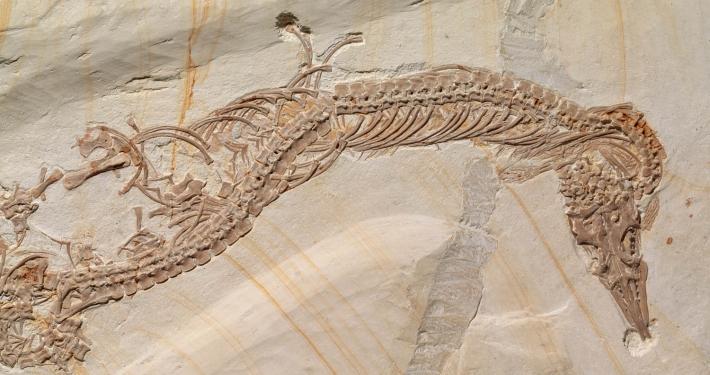 Fossil des Monats Januar 2020: Pleurosaurus