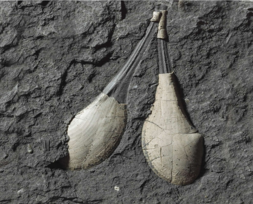 Fossil des Monats Februar 2020: Schnabelmuschel