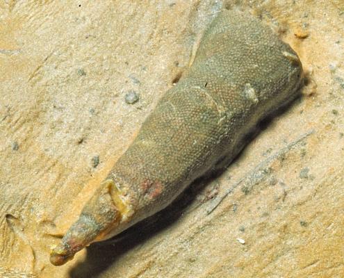 Fossil des Monats März 2020: Ethmophyllum whitneyi