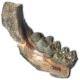 Fossil des Monats Mai 2020: Dorcabune anthracotheroides