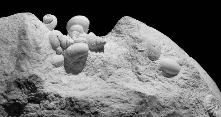 Fossil des Monats August 2020: Asteroceras