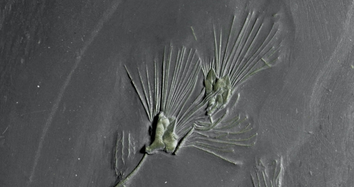 Fossil des Monats Oktober 2020: Knospenstrahler