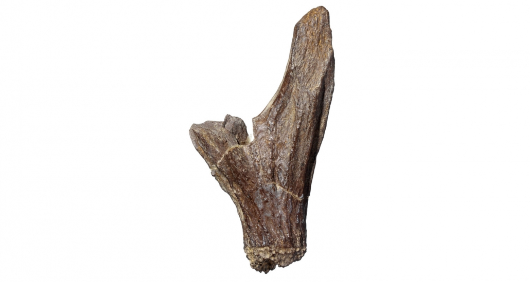 Fossil des Monats Dezember 2020: Fossilisierter Geweihwechsel