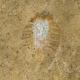 Fossil des Monats Januar 2021: Meringosoma