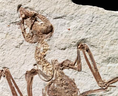 Fossil des Monats März 2021: Tynskya eocaena