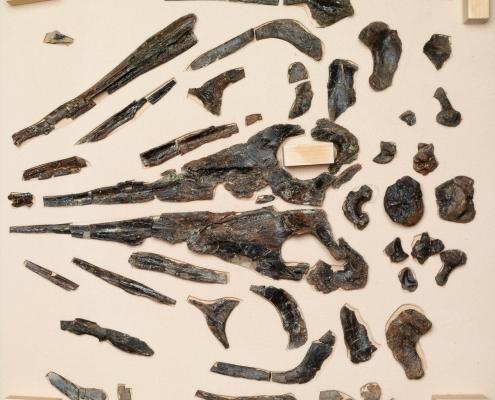 Fossil des Monats August 2021: Fischsaurier